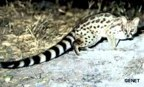rowland ward, sci, Large spotted Genet